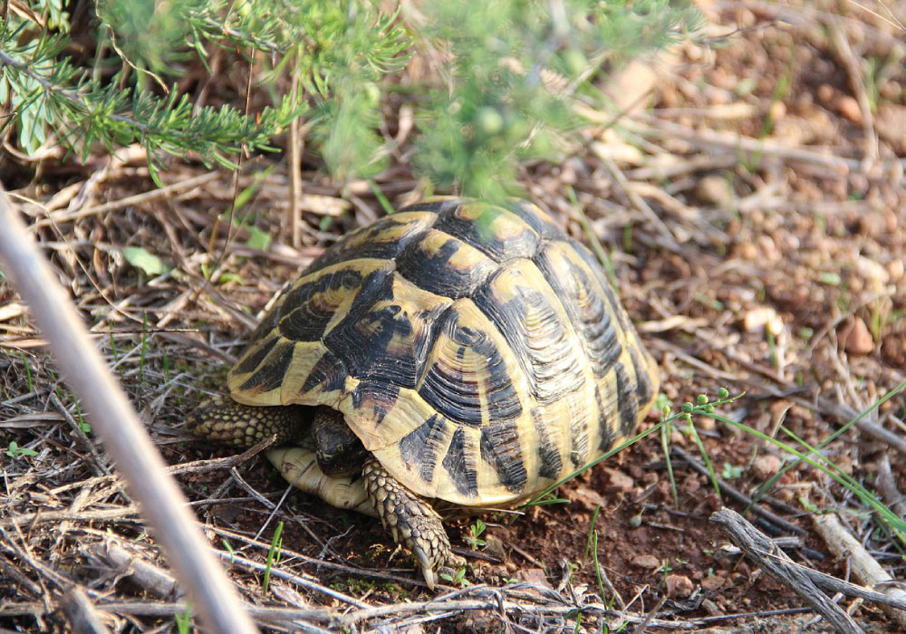 All About Hermann S Tortoises Petopedia