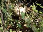 Ferret in Bush
