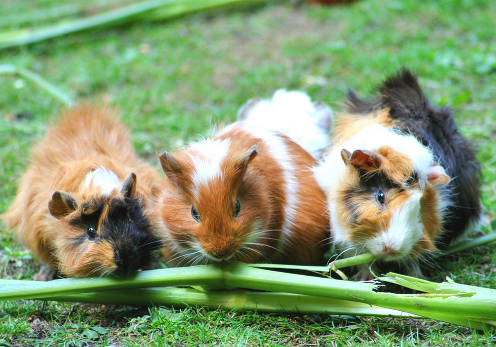 All About Guinea Pigs Petopedia