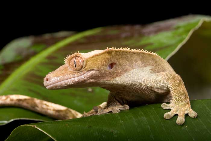 All About Crested Geckos Petopedia
