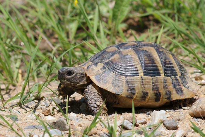 All about hermanns tortoises petopedia all about hermanns tortoises aloadofball Choice Image