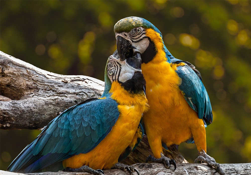 All About Lovebirds Petopedia